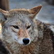 Stock Photo: Coyote