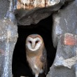 Barn owl - Foto de Stock