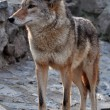 Coyote — Stock Photo #6674289