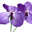 Blooming Orchid Vanda coerulea, the family of orchid (Orchidaceae). — Stock Photo