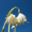 Snowflake spring (Leucojum vernum) against the blue sky — Stock Photo