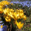 Blooming  yellow  crocus and Chionodoxa — Stock Photo