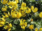 Erantis winter (Eranthis hyemalis), family Ranunculaceae — Stock Photo