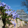 Chionodoxa, growing among the rocks — Stock Photo