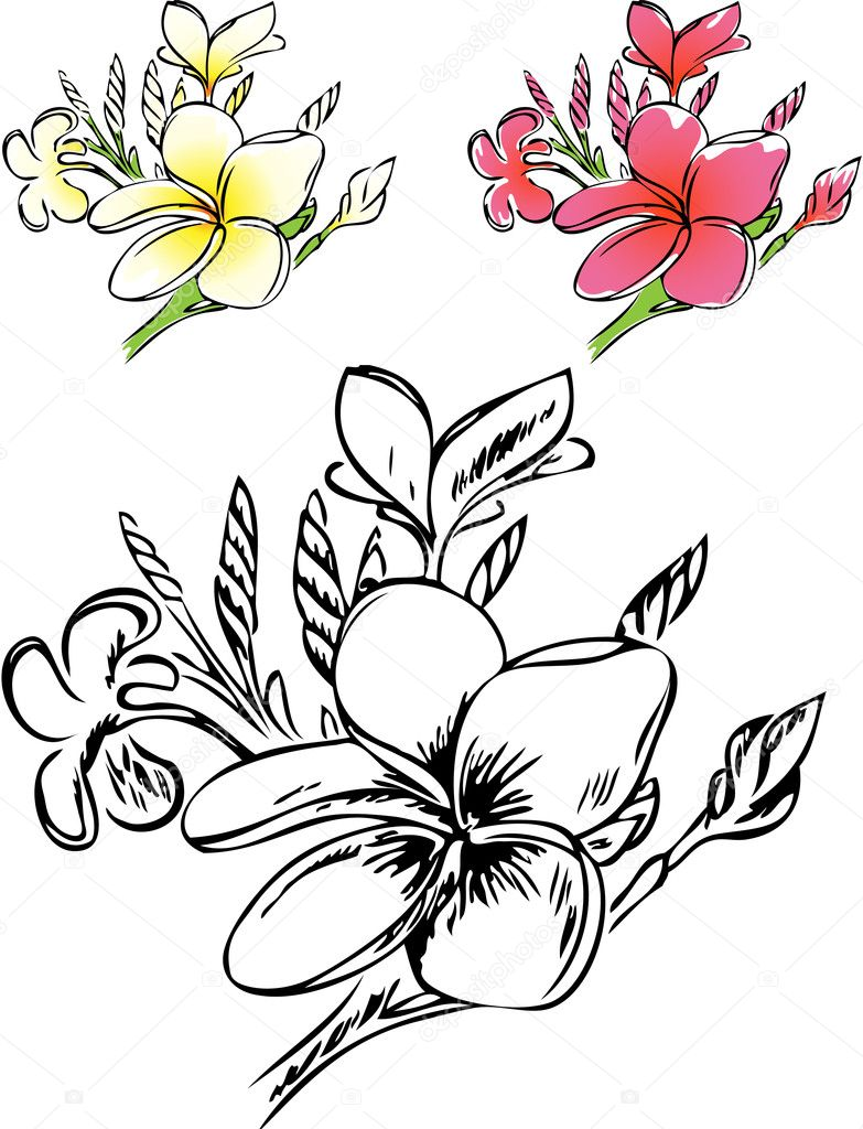 Frangipani Tree Drawing of Plumeria in Color And
