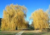 żółty drzew — Zdjęcie stockowe