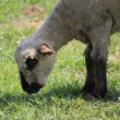 Stock Photo: Ewe white