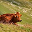 Cow brown — Stock Photo