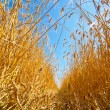 Path through field of wheat — Stock Photo