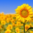 Stock Photo: Sunflower in field
