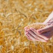 Farmer hands holding ripe wheat corns — Stock Photo #6123054