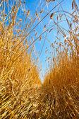 Path through field of wheat — Stock Photo
