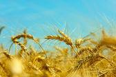 Gold field of wheat — Stock Photo