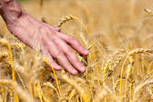 Farmer touching wheat ears — Stock Photo