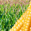 Stock Photo: Field of ripe corn