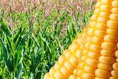 Field of ripe corn — Stock Photo