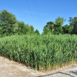 Reeds in a waste-water treatment plant — Stock Photo