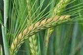 Close-up van maïs gerst — Stockfoto
