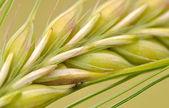 Closeup of barley seeds — Stock Photo