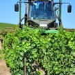 Trimming the vines — Stock Photo