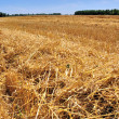 Barley cut at harvest - Foto de Stock