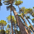 Trunks of tall pines - Stock Photo