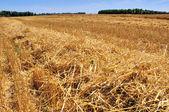 Barley cut at harvest — Stock Photo