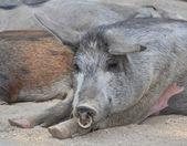 Pig nap — Stock Photo