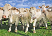 Crowd of calves and cows — Stock Photo