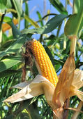 Bela espiga de milho maduro — Foto Stock