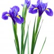 Stock Photo: Purple iris