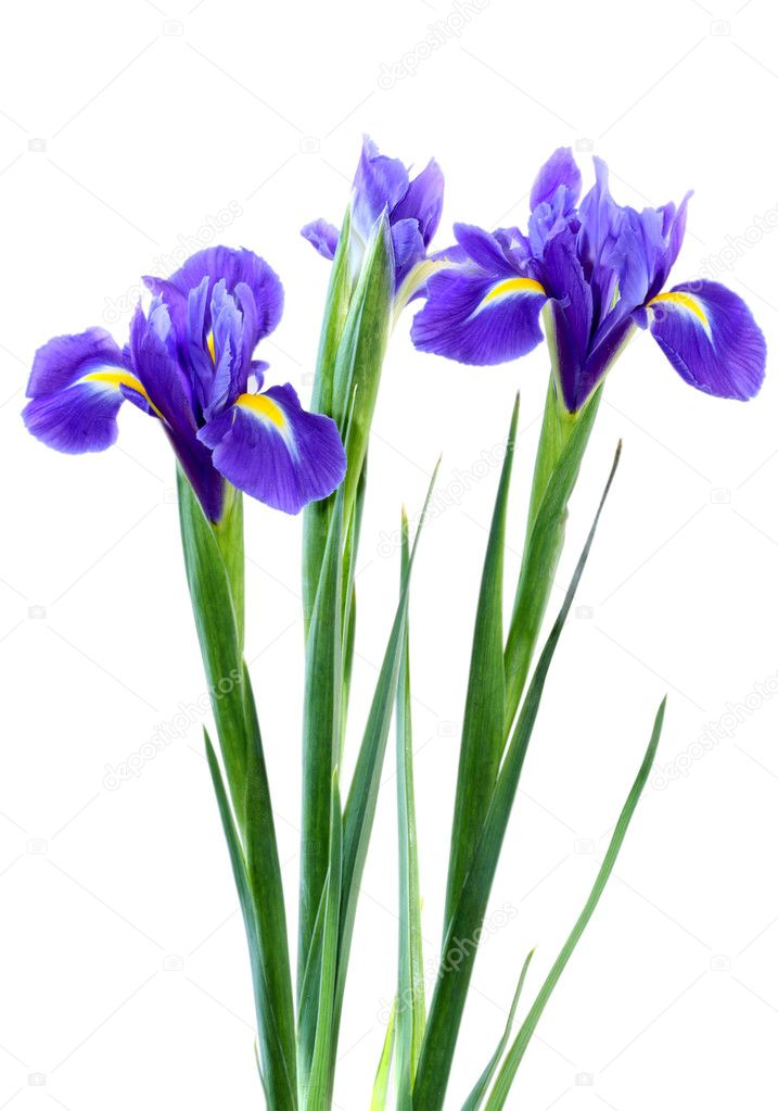 Beautiful dark purple iris flower isolated on white background   Stock Photo #5747958