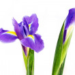 Purple iris — Stock Photo #5785608