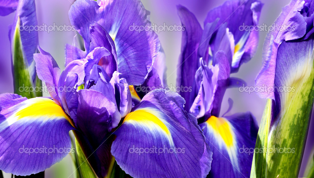 Beautiful dark purple iris flower isolated on white background  — Stock Photo #5785611