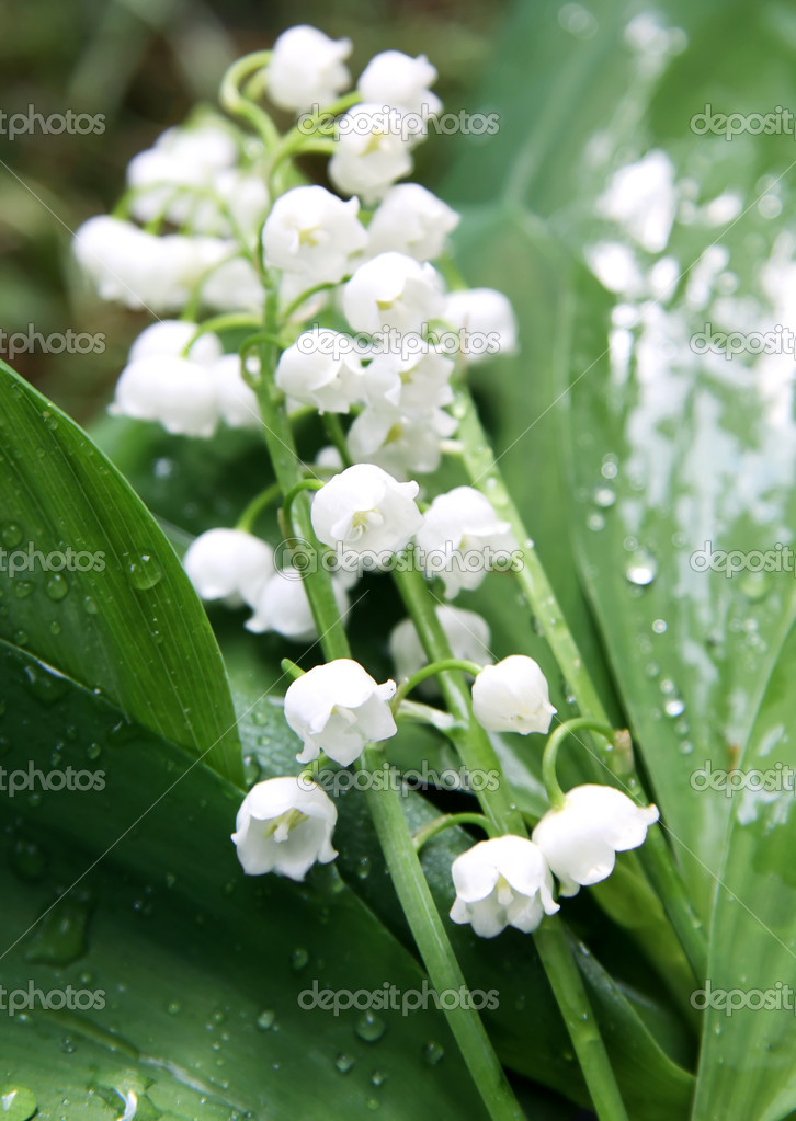 Lily of the valley on spring glade  — Stock Photo #6028862