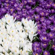 Crocus - Photo