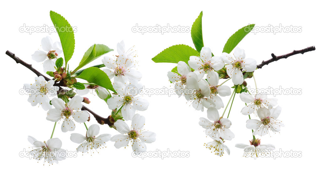 Cherry flowers isolated on shite — Stock Photo #5676667