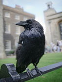 Raven in the Tower of London — Stock Photo