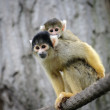 Squirrel monkey with its cute little baby — Stock Photo
