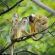 Squirrel monkeys with their babies - Stock Photo