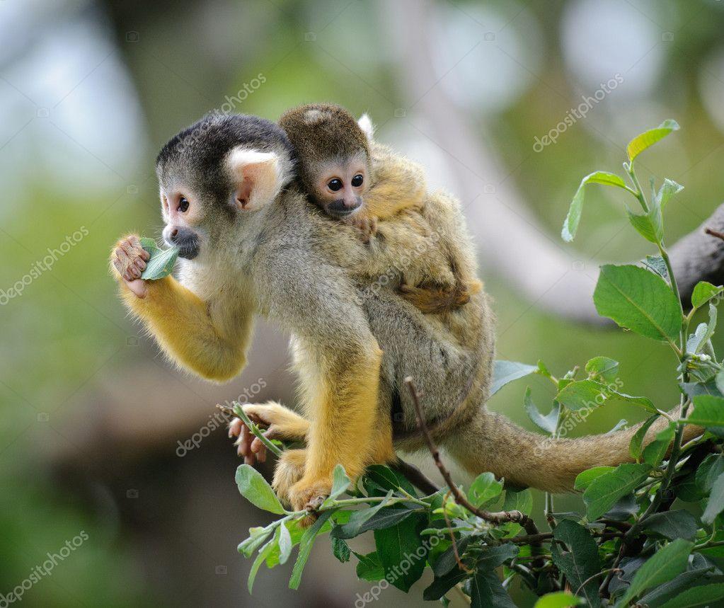 Squirrel monkeys in trees - photo#48