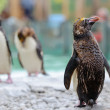 Northern Rockhopper Penguin — Stock Photo