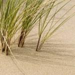 Dune grass — Stock Photo #5777064