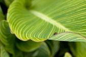 Mariquita en hoja de tropicana — Foto de Stock
