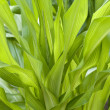 Stock Photo: Corn leaves