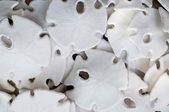 Sand dollars — Stock Photo