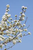 Branches to flowering wild aple tree — Stock Photo
