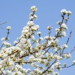 Branches of a blossoming apple-tree — Stock Photo #5647565