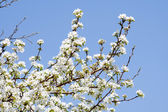 Ramas de un árbol floreciente de apple — Foto de Stock