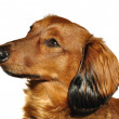 Red Long Haired Dachshund — Stock Photo #6053120